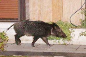 Beykoz'da domuz sokağa indi